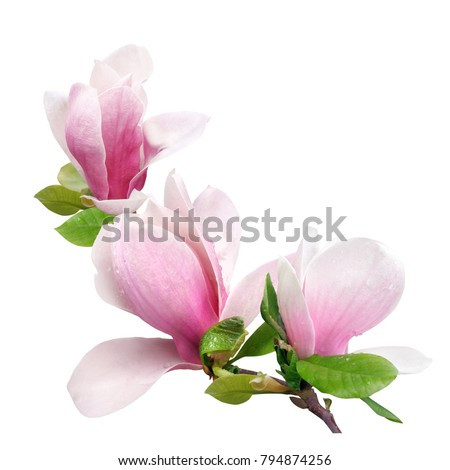 a branch of tender spring pink flower primrose magnolia isolated on white background
