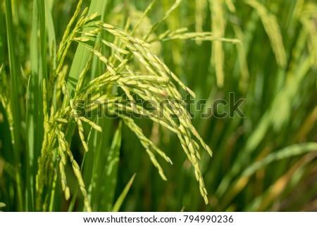 Close Up Rice crop #794990236