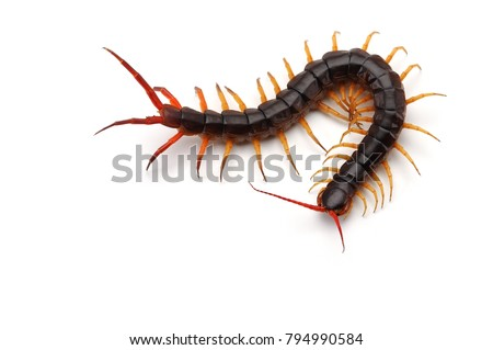 Giant centipede isolated on white background Royalty-Free Stock Photo #794990584