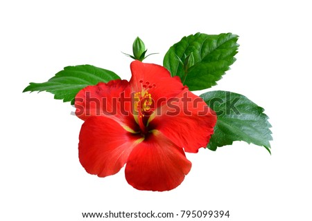 Red Hibiscus on white background with path #795099394