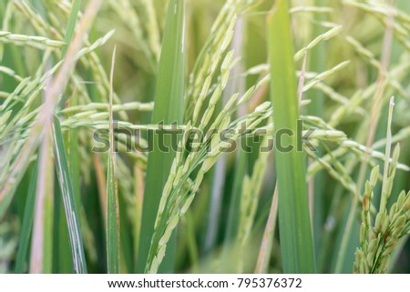 Green rice paddy on rice plant #795376372