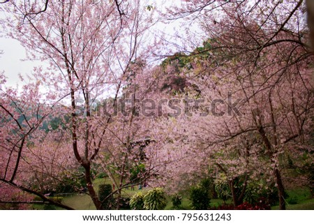 Bright pink flowers of Sakura on the high mountains of Chiang Mai. Spring background and beautiful natural scenery. #795631243