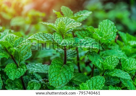 Mint leaves background leaf green plants with aromatic properties fresh ivy ground cover plant types Tropical Vegetables Vegetable Garden Kitchen use in cooking, add flavor and cool refreshing taste  #795740461