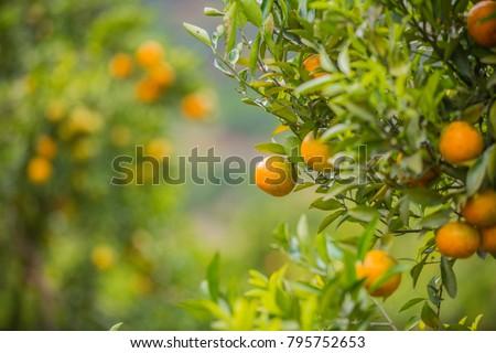 Orange plantation, Orange trees in orange grove, selective focus #795752653