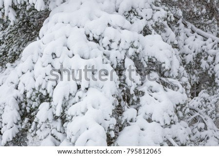 Snow covered pine tree branches in winter forest #795812065