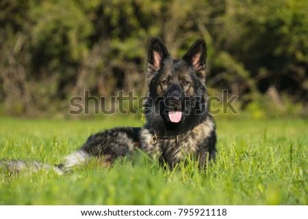 sheep dog on meadow #795921118