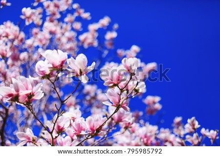 Great texture of magnolia pink flowers on blue sky background, with shallow depth of field and selective focus on flowers petals. Magnolia flowers in spring with blue sky background and with buds.