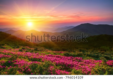 wonderful mountains Ukrainian sunrise  landscape with blooming rhododendron flowers, summer sunrise scenery, colorful summer scene, travel, Ukraine, Europe,  beauty world Royalty-Free Stock Photo #796014109