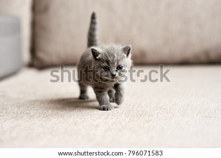 British blue kitten is very beautiful. The British kitten looks straight. The British kitten looks very closely. #796071583