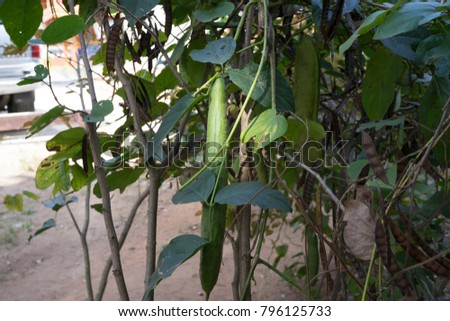 Canavalia gladiata Jack Bean.The pods can be used to fertilize the nutrients to other trees well.  #796125733