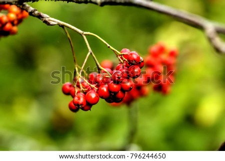 Berries of the mountain ash growing in the autumn wood. #796244650