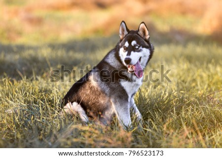 a puppy of husky sits on the grass and looks into the distance #796523173