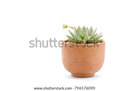 Clay pot of pastel green flowering echeveria succulent plant with yellow blooming flower on white background #796576090