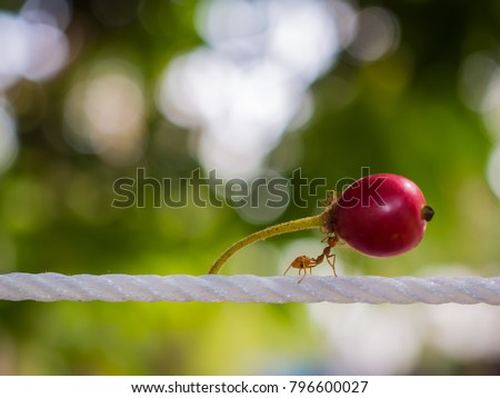 Red ant carry red fruit on white rope to nest on green background.strong ant hardworking Royalty-Free Stock Photo #796600027