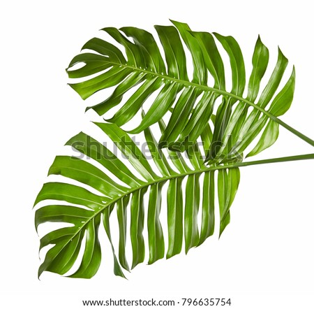 Monstera deliciosa leaf or Swiss cheese plant, isolated on white background, with clipping path #796635754