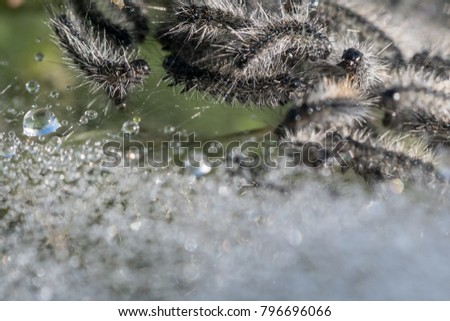 Close up of hairy caterpillars surrounded by water droplets #796696066