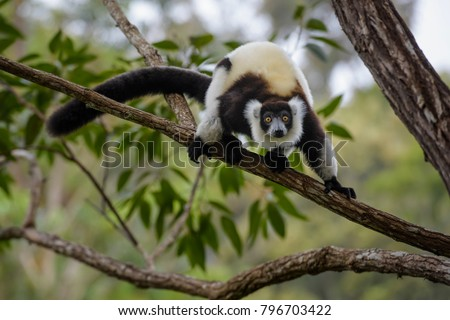 Black and White Ruffed Lemur - Varecia variegata, Madagascar. Beatifull primate. Critically endagered. Madagascar rain forest.