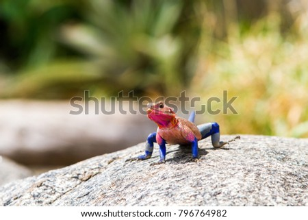 Male Mwanza flat-headed rock agama (Agama mwanzae) or the Spider-Man agama in the family Agamidae,  with bright red or violet head, neck, and shoulders and dark blue body in Serengeti, Tanzania #796764982