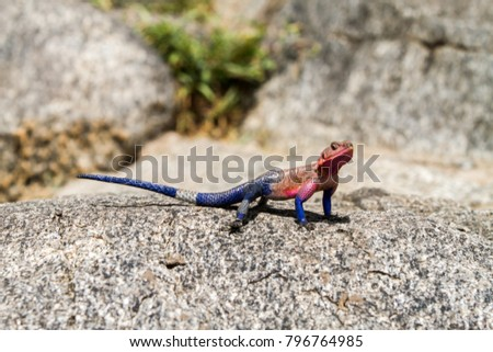 Male Mwanza flat-headed rock agama (Agama mwanzae) or the Spider-Man agama in the family Agamidae,  with bright red or violet head, neck, and shoulders and dark blue body in Serengeti, Tanzania #796764985