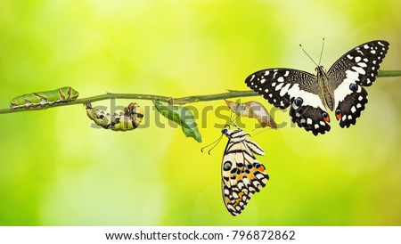 Lime butterfly or Lemon butterfly (Papilio demoleus) life cycle, from caterpillar to pupa and its adult form #796872862