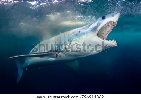 A Mako shark with mouth open showing teeth