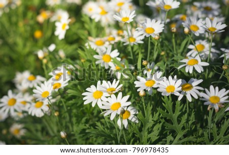 White daisy flowers in park,nature background. #796978435