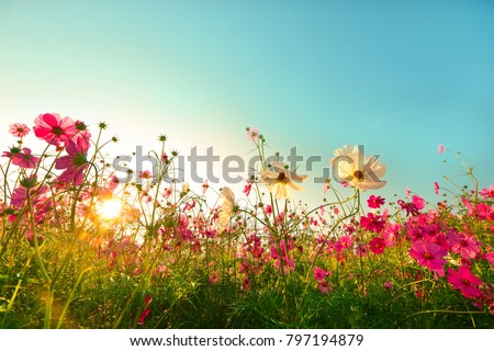 Beautiful cosmos flowers blooming in garden Royalty-Free Stock Photo #797194879