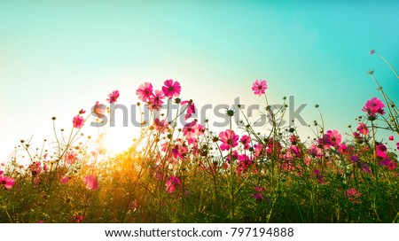 Beautiful cosmos flowers blooming in garden #797194888