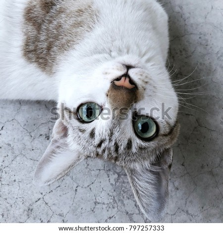 Closeup eyes cat for portrait photo. Cat looking up and thinking pretty action of thai cat. White kitten breed Thailand staring. Cattery expression. kitty thai species playing at home with copy space  #797257333
