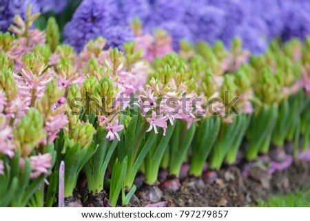 Hyacinths in garden, pink, white, purple with a wonderful smell and are famous for making perfume #797279857