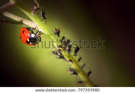 ladybug is eating aphids  Royalty-Free Stock Photo #797393980