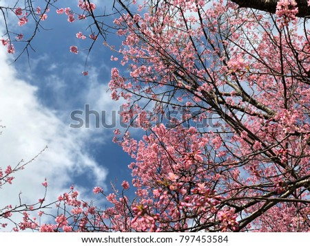 Pink cherry blossoms in Chiangmai, northern Thailand #797453584