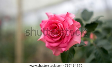 Roses are blooming. #797494372