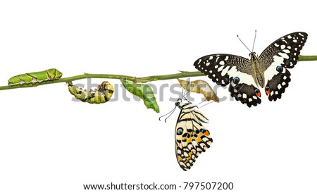 Lime butterfly or Lemon butterfly (Papilio demoleus) life cycle, from caterpillar to pupa and its adult form, isolated on white background with clipping path #797507200