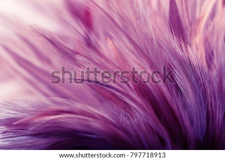 Purple fluffy chicken feathers in soft style for background, Postcard, wallpaper and design