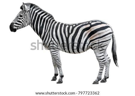 Young beautiful zebra isolated on white background. Zebra close up. Zebra cutout full length. Zoo animals.  Royalty-Free Stock Photo #797723362