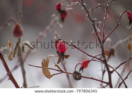 frozen dogrose beries on the bushes in winter #797806345