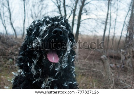 black terrier, big black dog #797827126