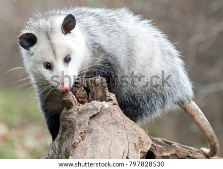 possum on a log looking for grubs