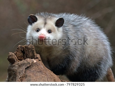 young possum on a branch