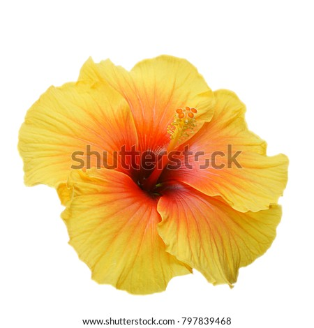 Yellow hibiscus on white background with path #797839468