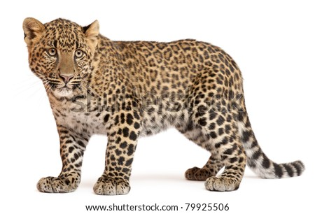 Leopard, Panthera pardus, 6 months old, standing in front of white background #79925506