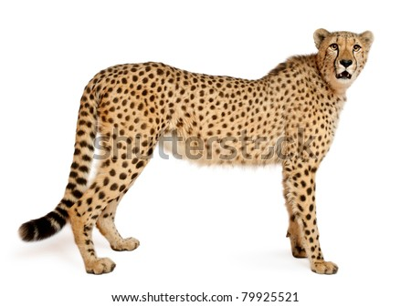 Cheetah, Acinonyx jubatus, 18 months old, standing in front of white background #79925521
