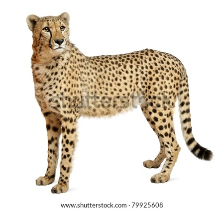 Cheetah, Acinonyx jubatus, 18 months old, standing in front of white background #79925608