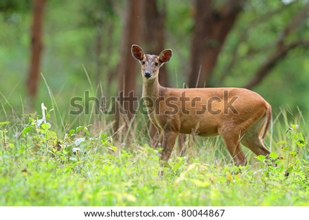 Barking deer in forest #80044867