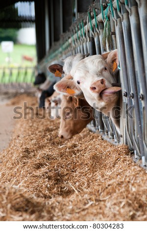 Cows on the farm eating through the fence #80304283