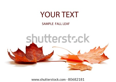 autumn maple leaf isolated on white background #80682181