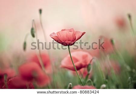 Field of Corn Poppy Flowers Papaver rhoeas in Spring #80883424