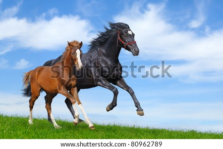 Black mare and sorrel foal gallop on field #80962789