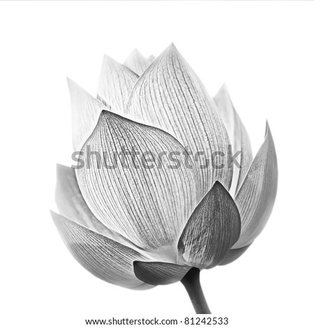 Lotus flower in black and white isolated on white background. #81242533